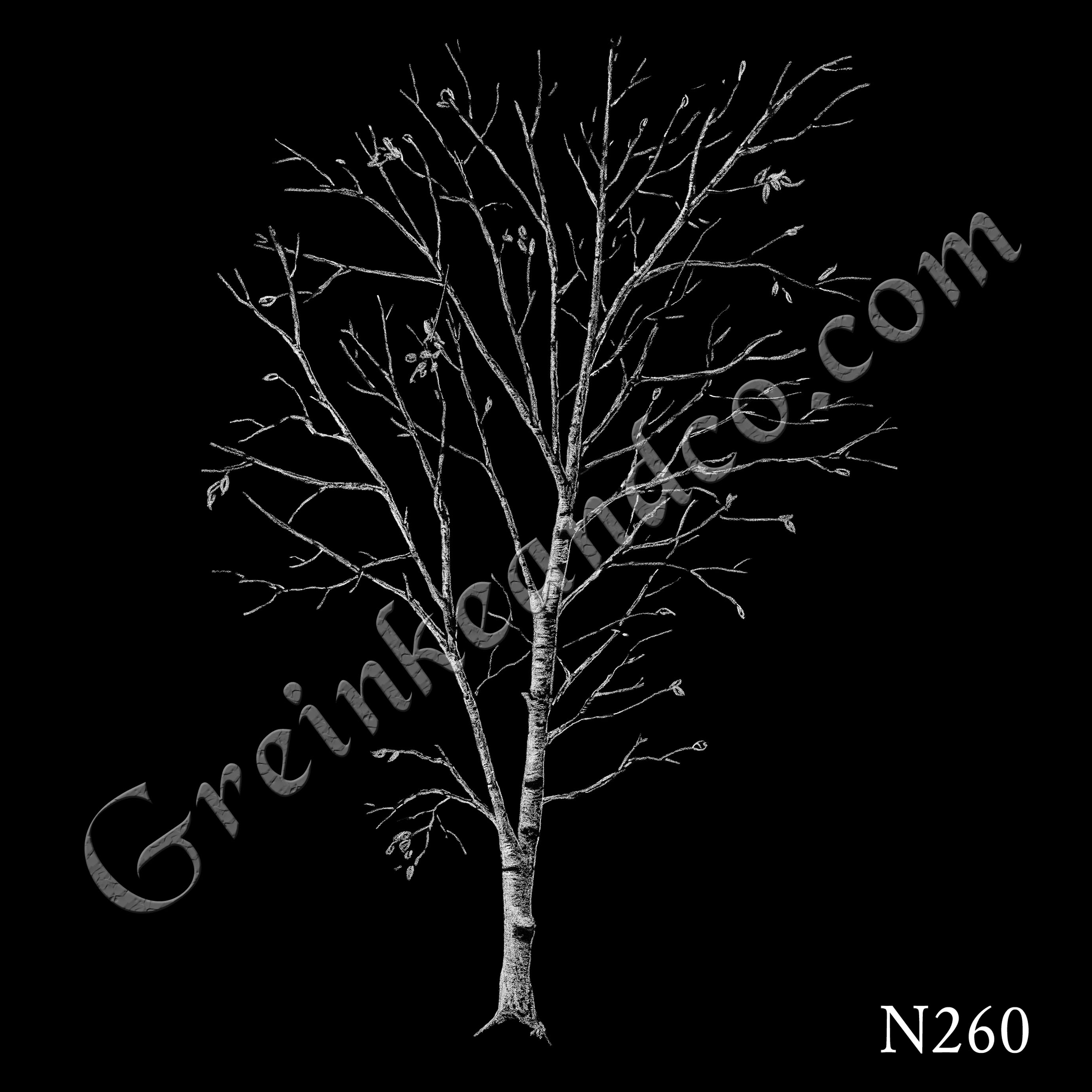 N260 Winter Birch Tree