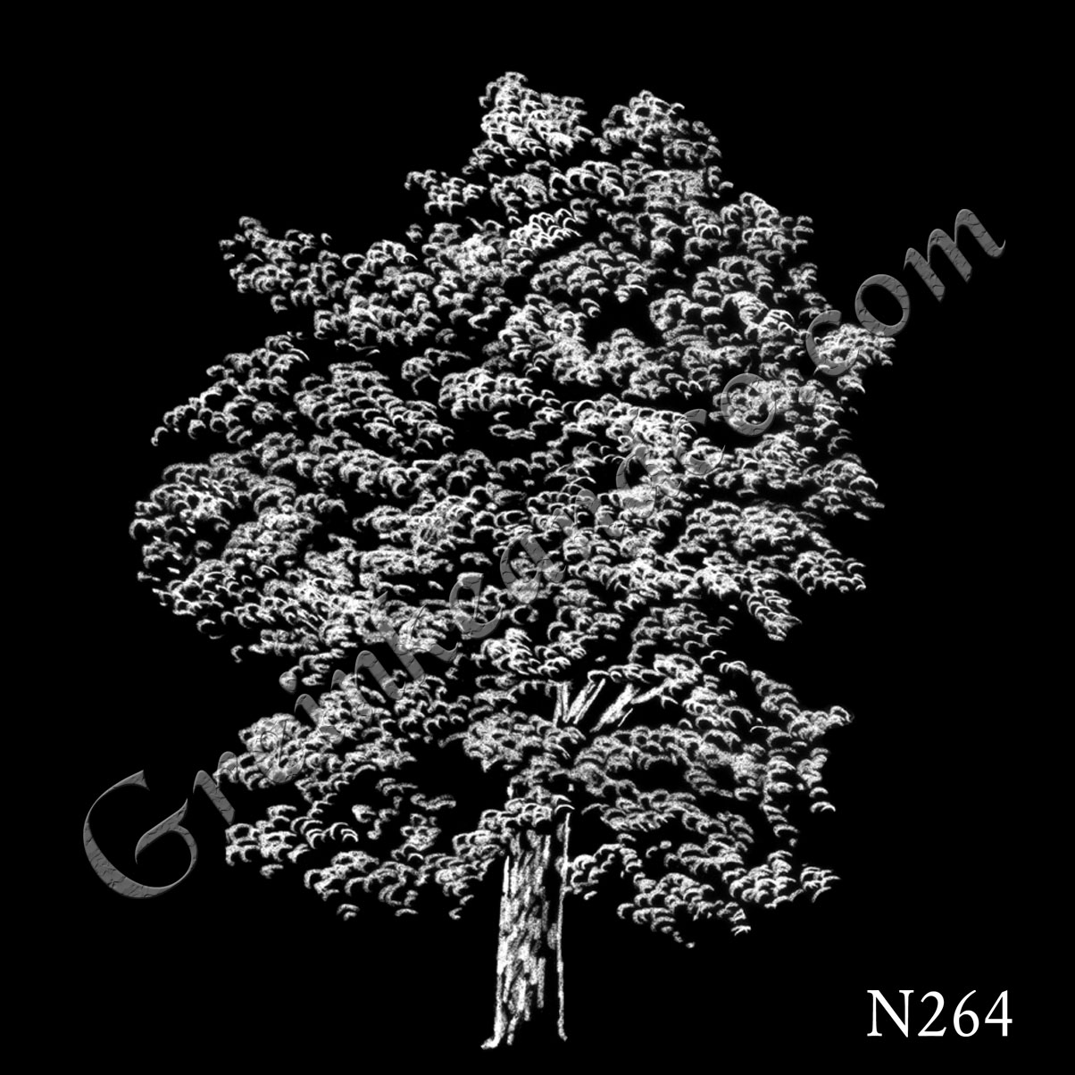 Hickory tree drawing
